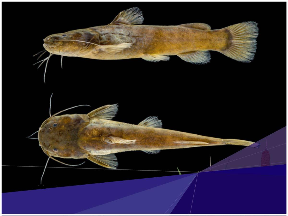 Investigadores de la Universidad Indoamérica descubren una nueva especie de pez