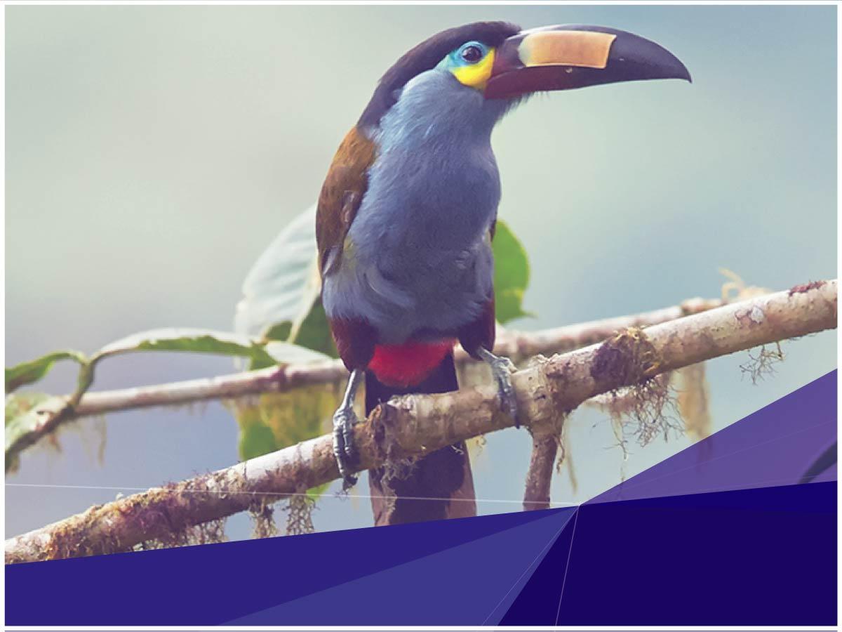 Indoamérica aporta con la investigación de distribución del tucán andino para su conservación
